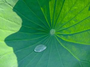 superhydrophobic lotus leaf
