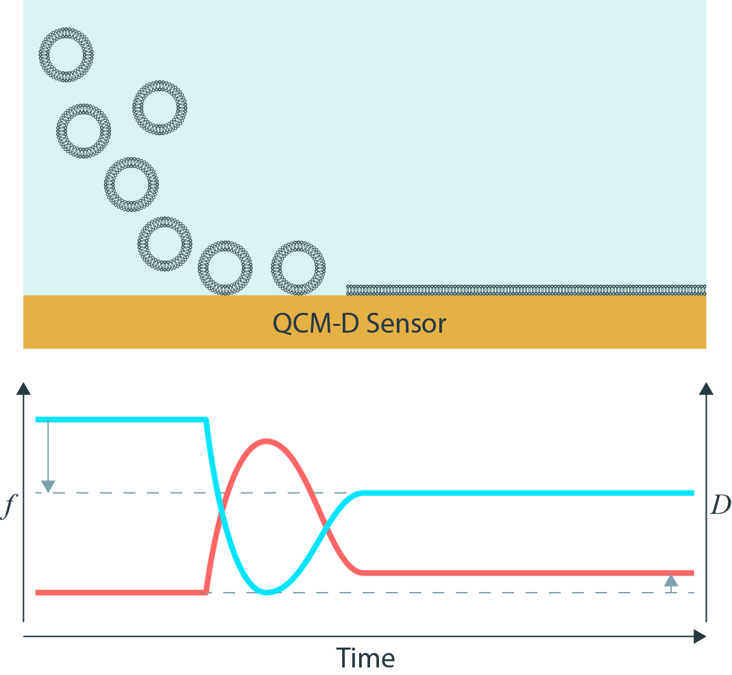 Bilayer formation by QCM-D