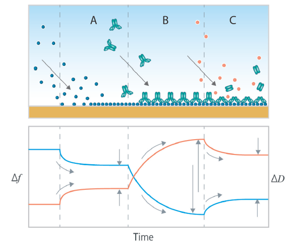 Biomolecular interactions characterized by QCM-D